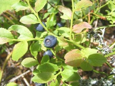 Bilberry Fruit Whole Bulk