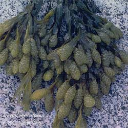 Bladderwrack Cut and Sifted Bulk