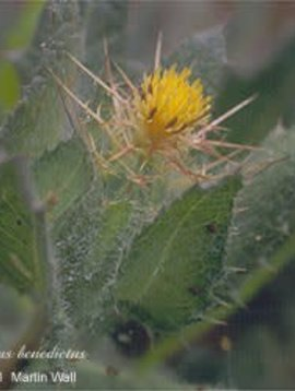 Blessed Thistle Cut and Sifted Bulk