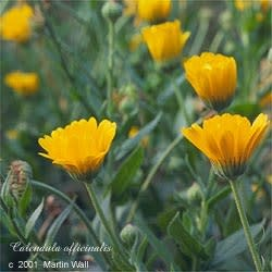 Calendula Flower Whole Bulk