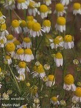 Chamomile Flower Whole Bulk