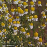 Chamomile Flowers Powder Bulk