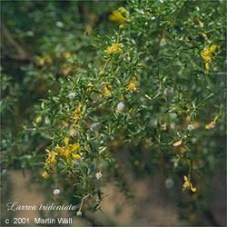 Chaparral Leaf Powder Bulk