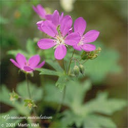 Cranesbill Rt Cut and Sifted Bulk