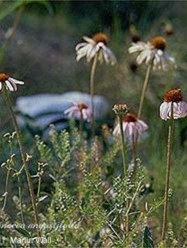 Echinacea Root Powder Bulk