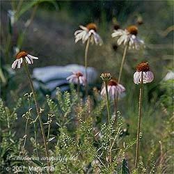 Echinacea Root Powder
