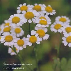 Feverfew Flowers Powder Bulk
