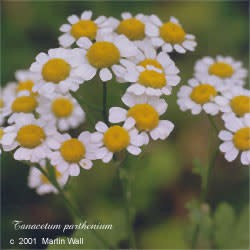 Feverfew Leaf and Flower Cut and Sifted Bulk
