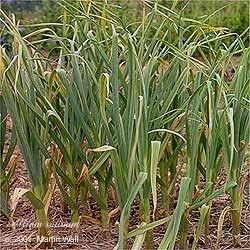 Garlic Bulb Granules Bulk