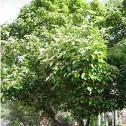 Hawthorn Berry Powder Bulk