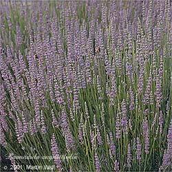 Lavender Flower Whole Bulk