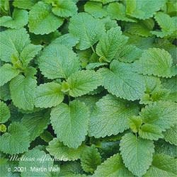 Lemon Balm Cut and Sifted Bulk