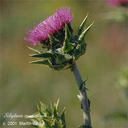 Milk Thistle Seed Whole Bulk