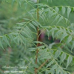 Neem Leaf Powder Bulk