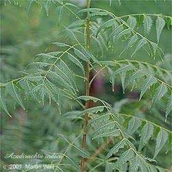 Neem Leaf Cut and Sifted Bulk