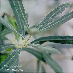 Olive Leaf Cut and Sifted Bulk