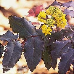 Oregon Grape Powder Bulk