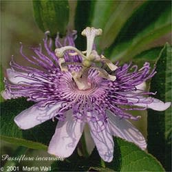 Passion Flower Powder Bulk