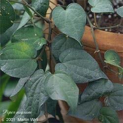 Pepper, Black Ground Bulk