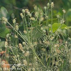 Psyllium Seed Whole Bulk