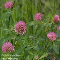 Red Clover Herb and Blossoms Cut and Sifted Bulk
