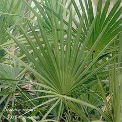 Saw Palmetto Berry Powder Bulk