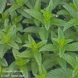 Spearmint Leaf Cut and Sifted Bulk