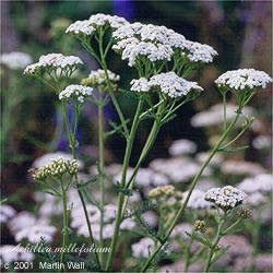 Yarrow Powder Bulk