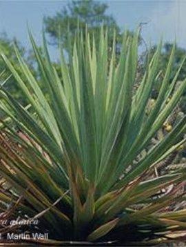 Yucca Root Powder Bulk