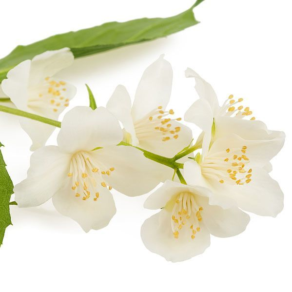 Neroli in 50% jojoba Essential Oil