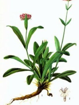 Spikenard Essential Oil