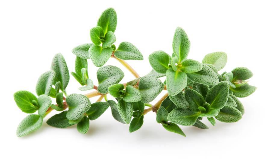 Thyme Linolol Essential Oil