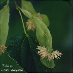 Linden Flower and Leaf Powder Bulk