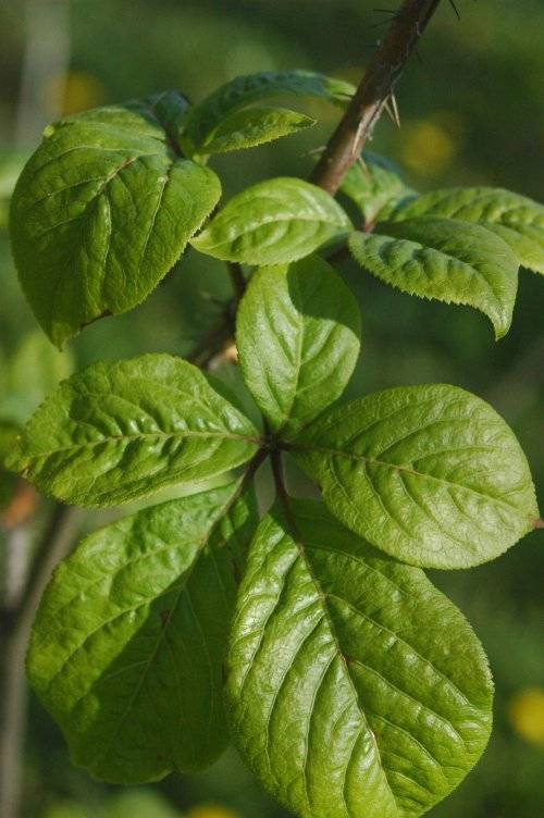 Ginseng Eleuthero Root Powder Bulk