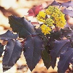 Oregon Grape Root Powder Bulk