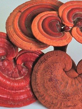 Reishi 1:1 Extract Powder Bulk