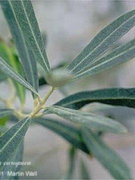 Olive Leaf Powder Bulk