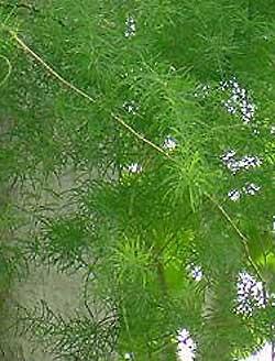 Shatavari Root Powder Bulk