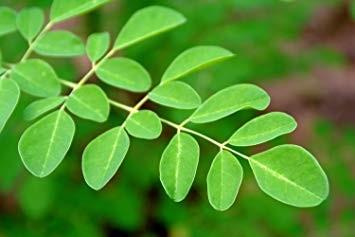 Moringa Leaf Cut and Sifted Bulk