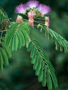 Albizia Flower Cut & Sifted Bulk
