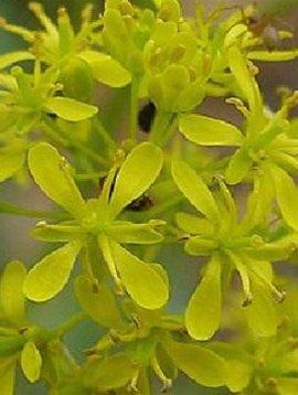 Isatis Leaf Powder Bulk