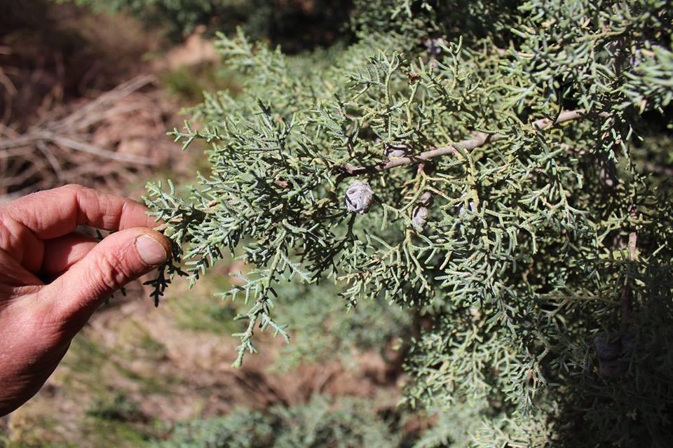 Arizona Cypress Cut and Sifted Bulk