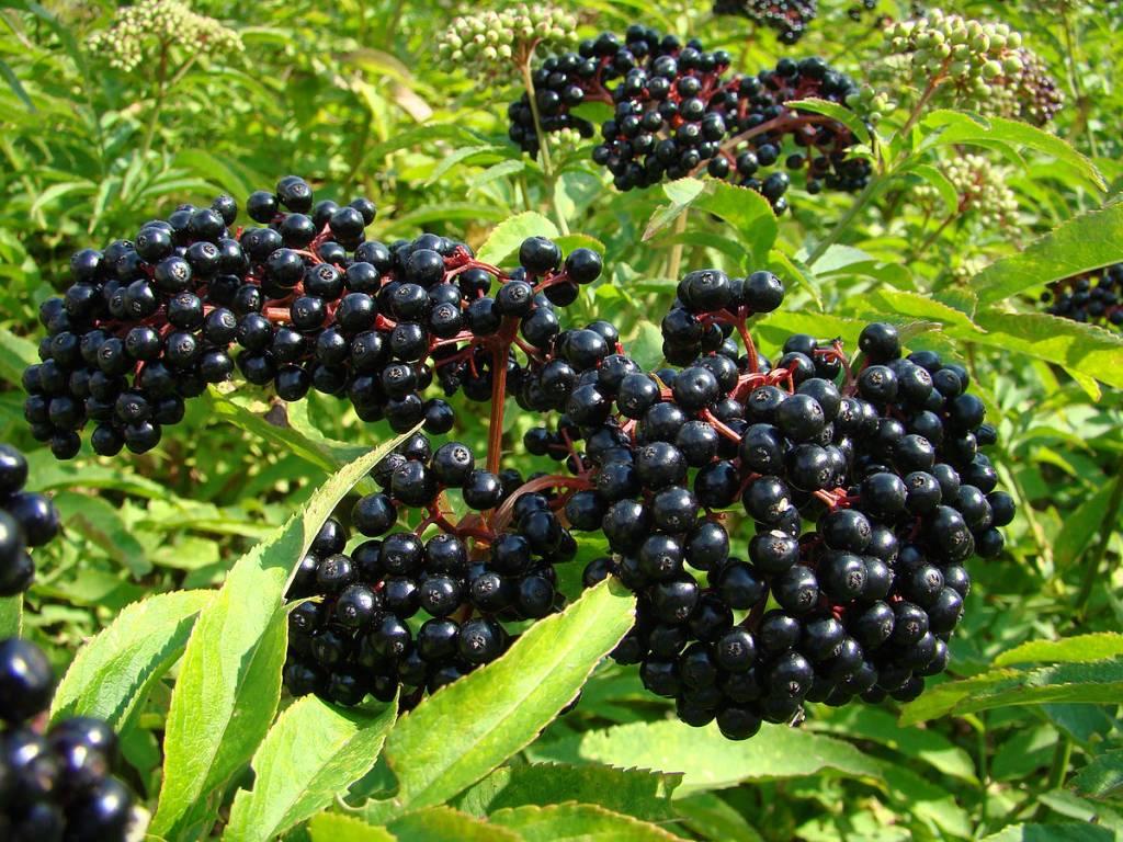 Bulk Elderberries whole 1 #