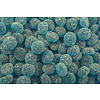 Framboise bleue surette