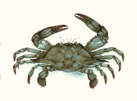 Print- Single Blue Crab, Matted