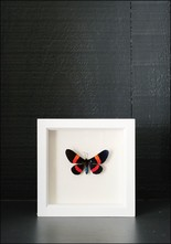 Bug Under Glass Framed Millonia Drucei Butterfly
