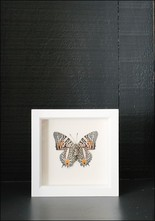 Bug Under Glass Framed Narrow Lined Butterfly