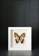 Bug Under Glass Framed Tiger Swallowtail