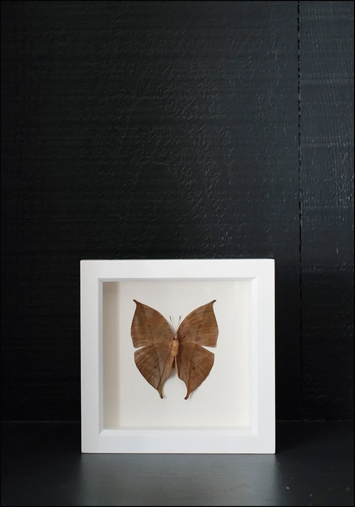Bug Under Glass Framed Oakleaf Butterfly