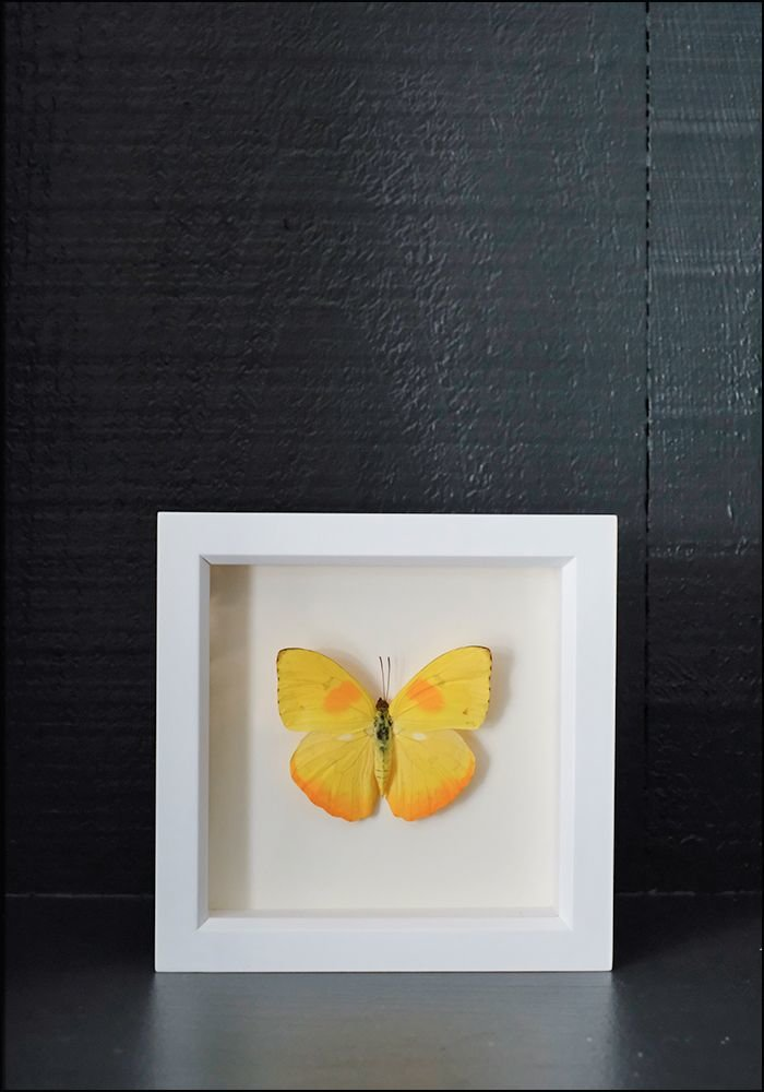 Bug Under Glass Framed Sulphur Buterfly